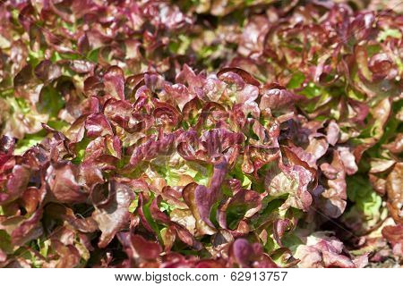 Field of Red and Green Frisee lettuce growing in rows