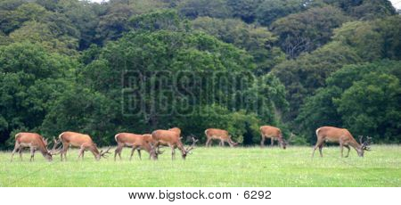 Stags Grazing poster
