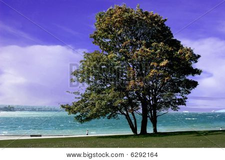 Seawall Tree