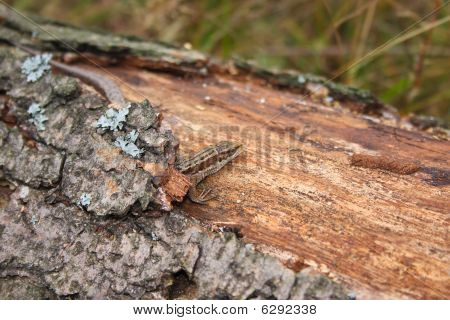 Lizard On The Log Which Has Grown With A Moss