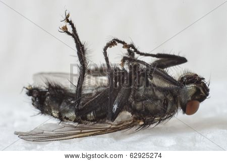 The Dying Fly