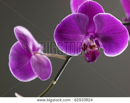 close up of the beauty of orchid flower