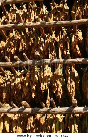 Tobacco Leaves Drying In The Barn. Vinales, Cuba