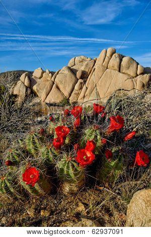 Claret-cup Cactus Blooms