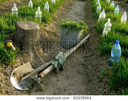 vegetable beds with plastic bottles as small hothouses among growing wheat as green manure and some garden tools