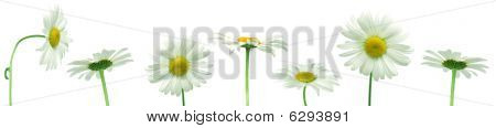 Row Of White Daisies