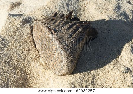 Mammoth tooth on a sand background. It was found in north-eastern Poland.