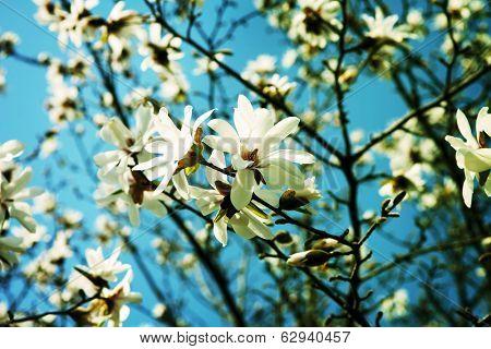 White Magnolia flowers in full bloom .?(Magnolia heptapeta, Magnolia denudata,Yulan magnolia)