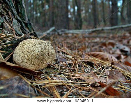 Mushroom Scleroderma Citrinum