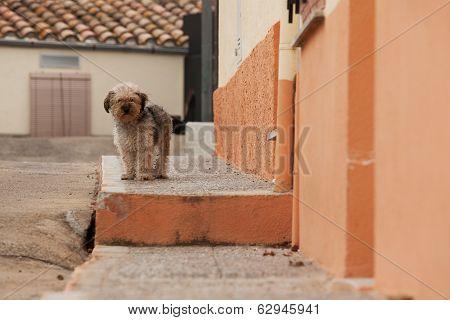 Wandering Shaggy Dog
