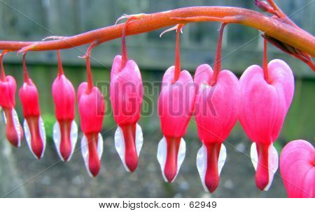 Line Of Bleeding Hearts