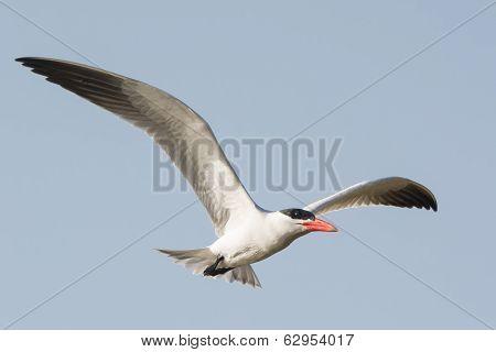 A Caspian Tern In Flight