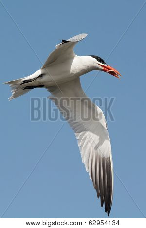 A Caspian Tern With A Small Fish In Flight