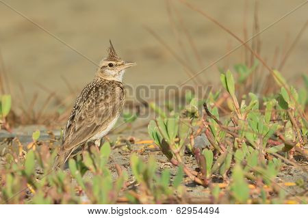 Crested Lark On The Beach With Its Crest Raised