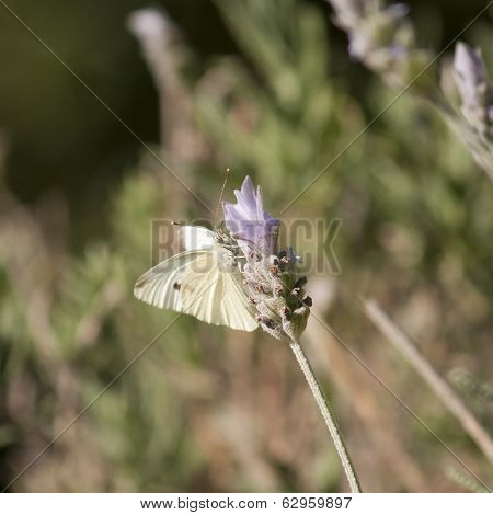 Small White Butterfly on lavender