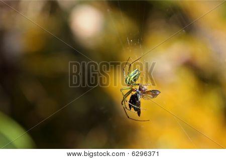 Spider Devouring Prey