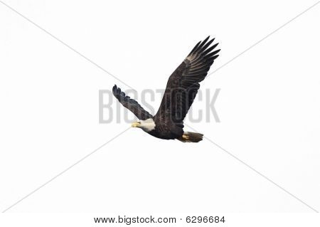 Isolated Bald Eagle