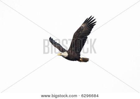 Isolated Bald Eagle