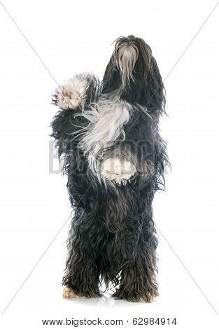 Tibetan Terrier Up
