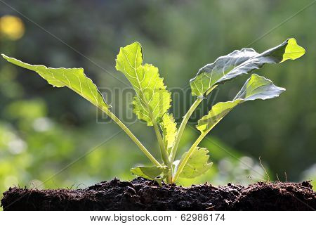 Vegetables Sprout Of Collard.