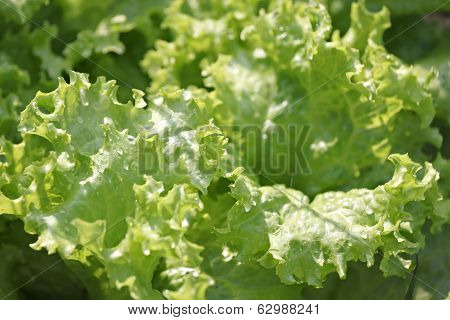 Fresh Lactuca Sativa Leaf.
