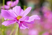 image of cosmos flowers  - Beautiful flowers cosmos on softly blurred background - JPG