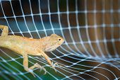 picture of godzilla  - orange iguana on the net in Thailand - JPG