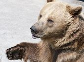 Brown Bear (ursus Arctos Arctos)