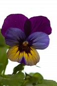 Garden Viola Isolated