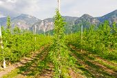 stock photo of italian alps  - Pear Tree Plantation on the Foothills of Italian Alps - JPG