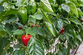 foto of hydroponics  - Hydroponic cultivation of Red and Green Peppers or Capsicum annuum in a Dutch glasshouse - JPG