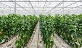 pic of hydroponics  - Hydroponic cultivation of Red Peppers or Capsicum annuum in a Dutch greenhouse - JPG