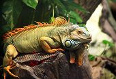 image of lizard skin  - Bright monitor lizard with orange crest on the geen background