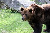stock photo of grizzly bear  - portrait of a brown bear - JPG