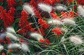 image of fountain grass  - Spring Garden with Close Up of Fountain Grass - JPG