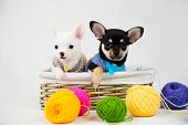 Small Purebred Puppies poster