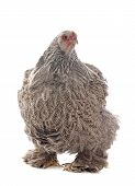 stock photo of brahma  - brahma chicken in front of white background - JPG