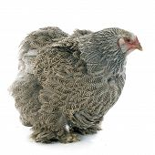 picture of brahma  - brahma chicken in front of white background - JPG