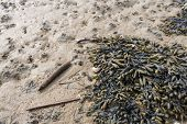 stock photo of bladder  - Bladder wrack seaweed or Fucus vesiculosus and feces of lugworms at low tide on the beach.