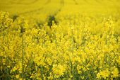 foto of biodiesel  - A bright yellow Canola or Rapeseed crop used for foodstuffs or biodiesel - JPG