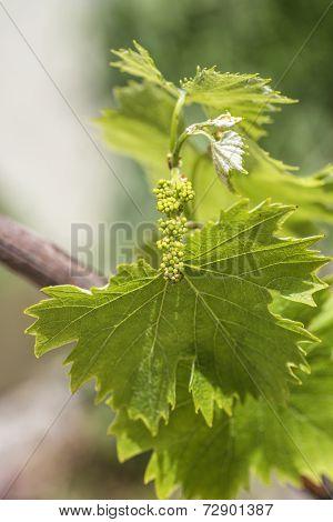 Grapevine Flower Transformation Into A Grape Berry