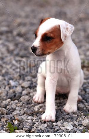 Small Puppy Jack Russell Terrier Standing And Attentively Looking Curiously