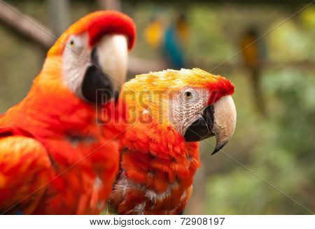 Close Up Of Scarlet Macaw Parrot Pair In The Amazonian Rainforest, South America