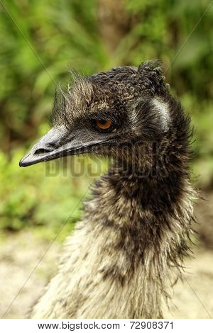 Emu portrait amazonian rainforest