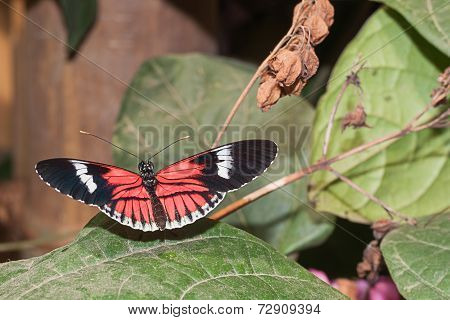 Red Cattle Heart Butterfly, Amazonian Rainforest, South America