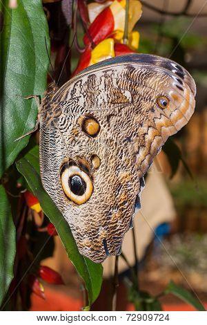 Caligo Oileus Butterfly