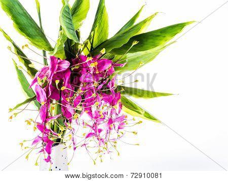 Blossom Of Globba Flower ,chiangmai Thailand