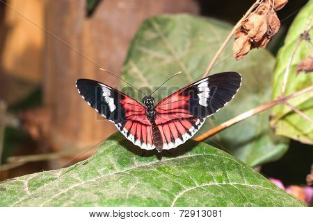 Amazing Cattleheart Swallowtail, butterfly, amazonian rain forest