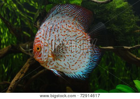Red Tiger Pigeon Discus Fish on Natural Environment