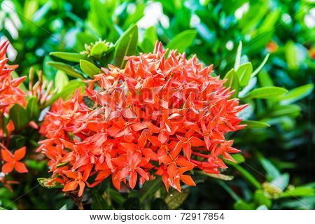 Photos Red Ixora Flowers